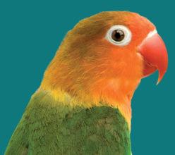 Lovebird Premium