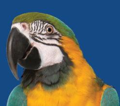 Parrot No Sunflower