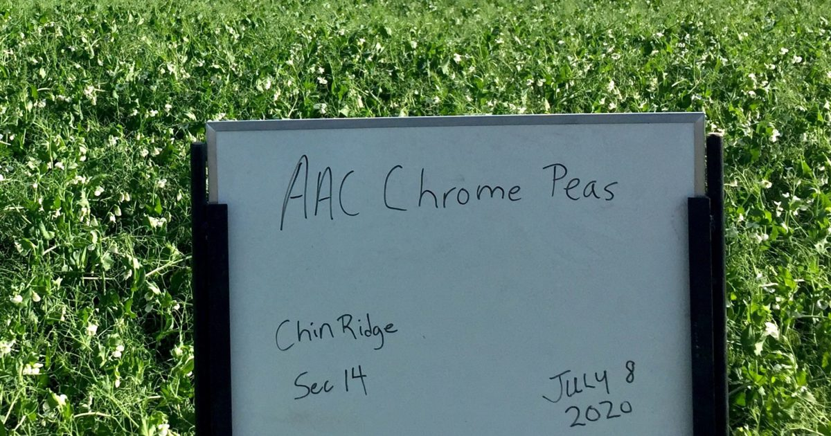 AAC Chrome Yellow Peas - Top yielder - Area 1 and Area 2 in Alberta Seed Guide