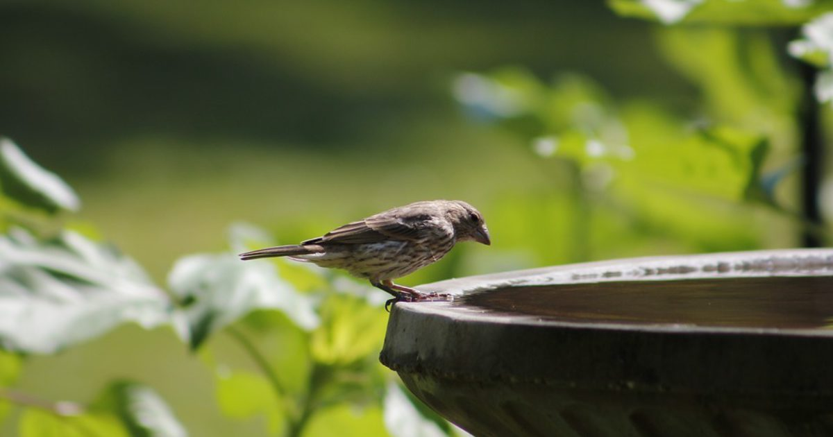 Keeping birds healthy and happy through hot summer days.