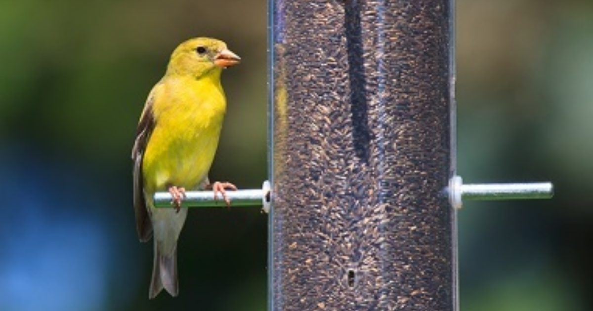 How to attract wild finches to your backyard.