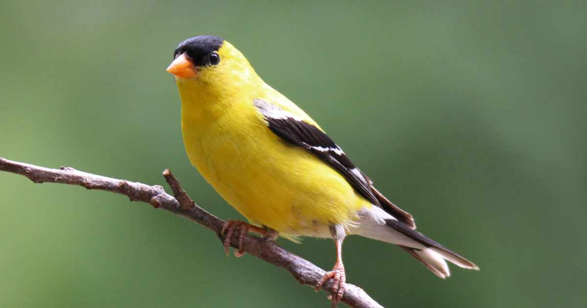 How to Attract Finches to Your Yard This Spring