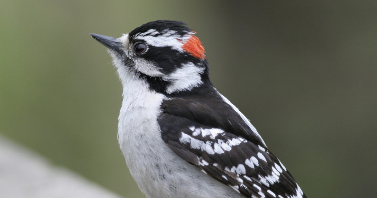 Backyard Visitors - Do you Have a Downy Woodpecker in your Future?