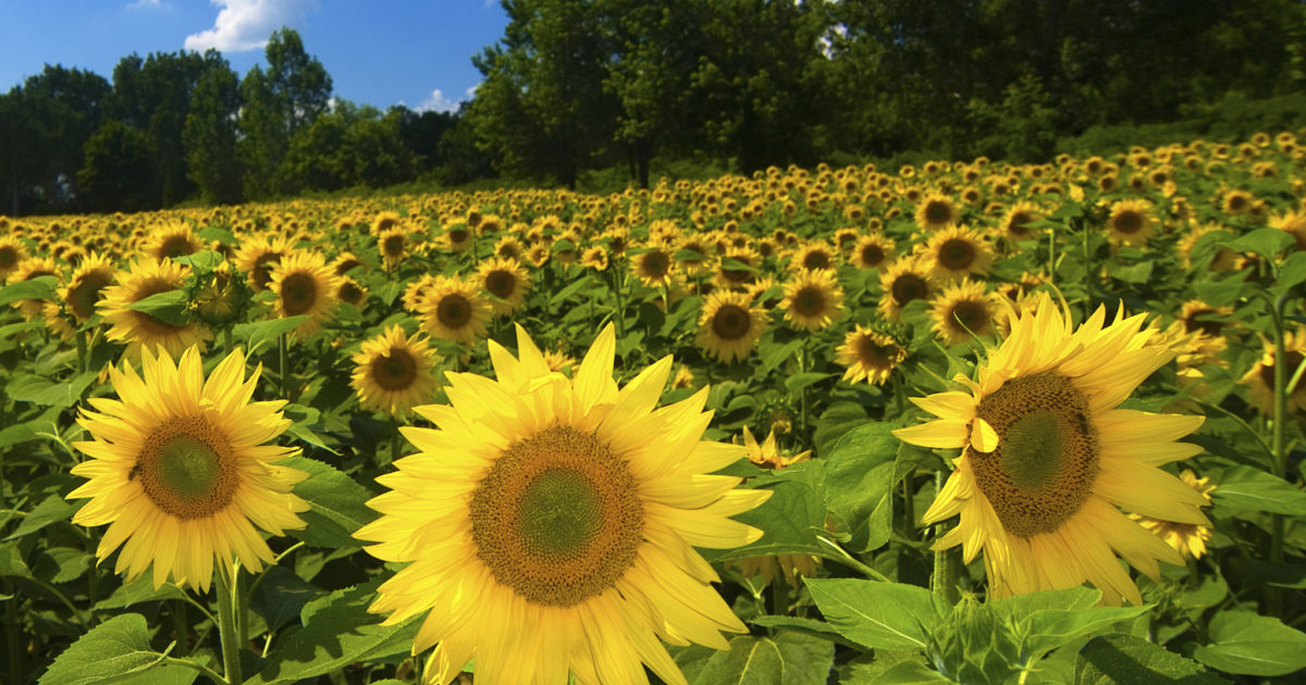 The Ultimate Bird Food: Black Oil Sunflower Seed