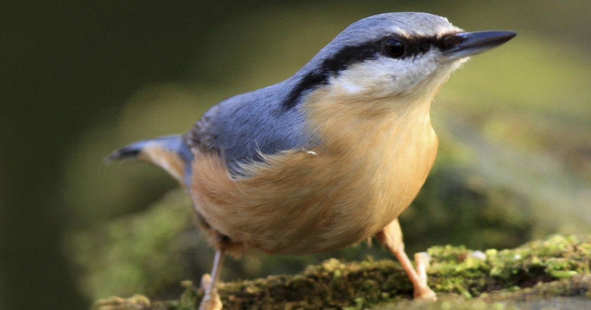 Attracting Nuthatches to your Backyard