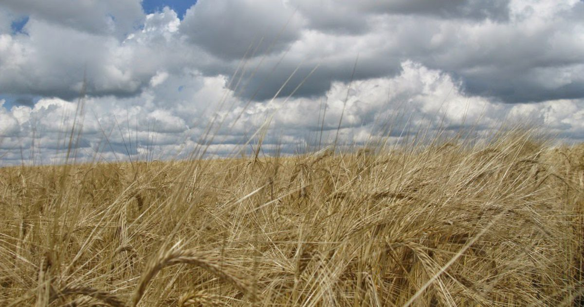 Dryland Silage Barley with a Smooth Awn - Check Out CDC Maverick Barley