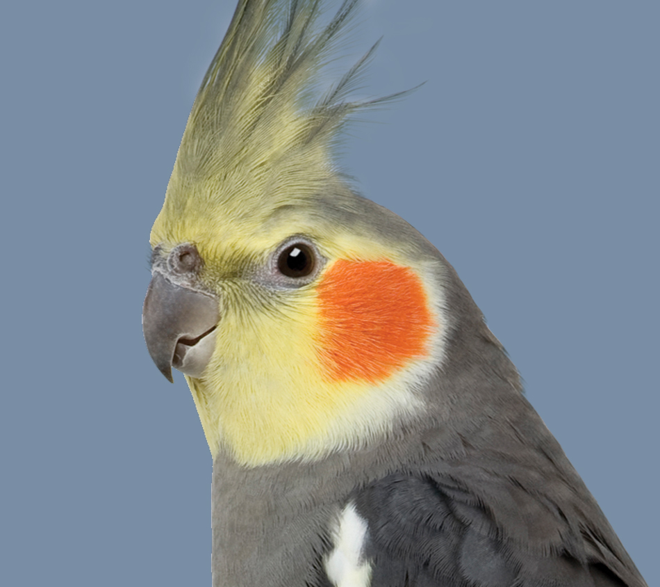 Cockatiel - No Sunflower