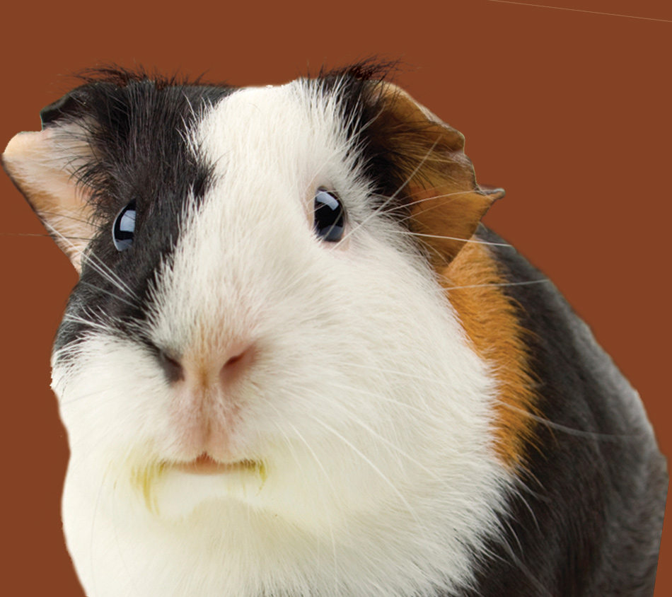 Bird's Choice® Guinea Pig