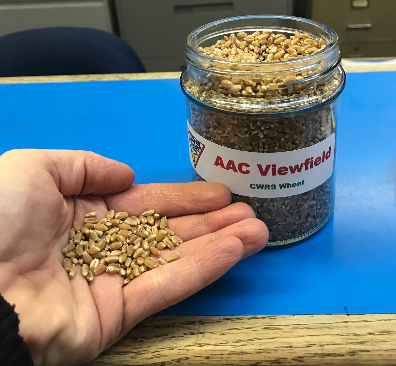 AAC Viewfield Wheat